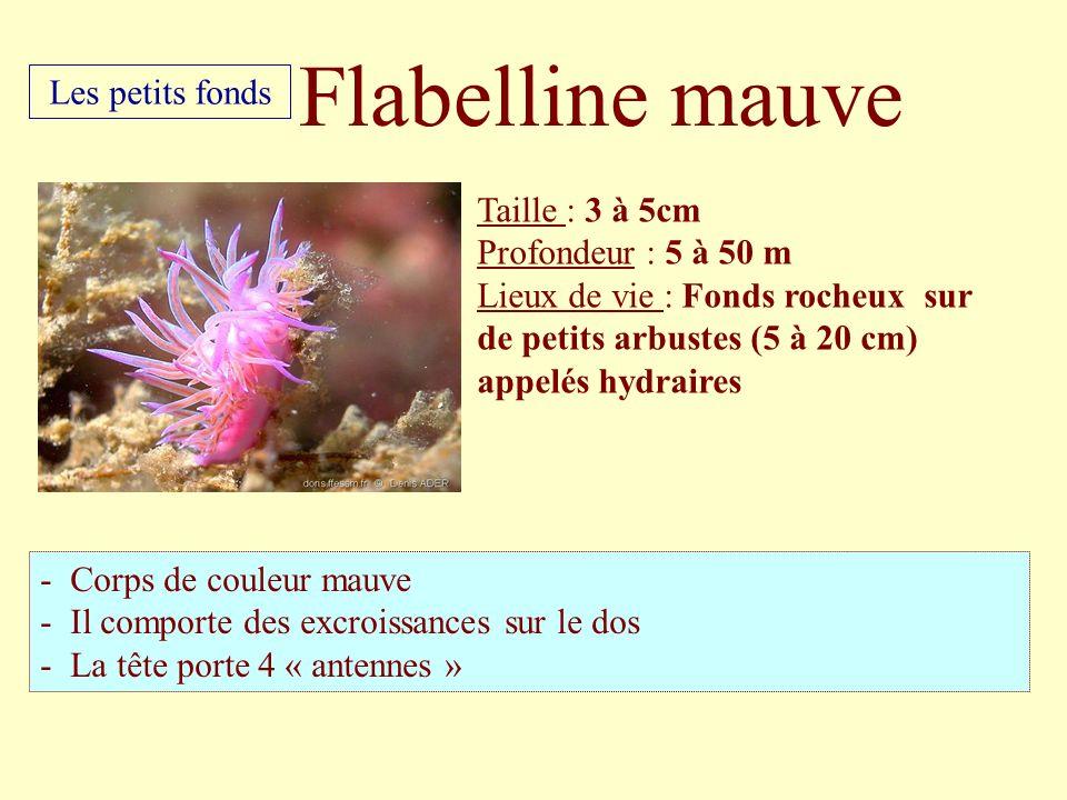 Flabelline mauve Les petits fonds Taille : 3 à 5cm