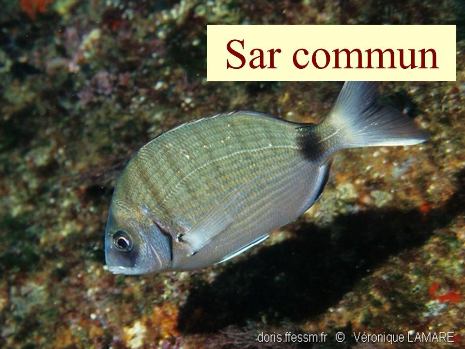 Sar commun