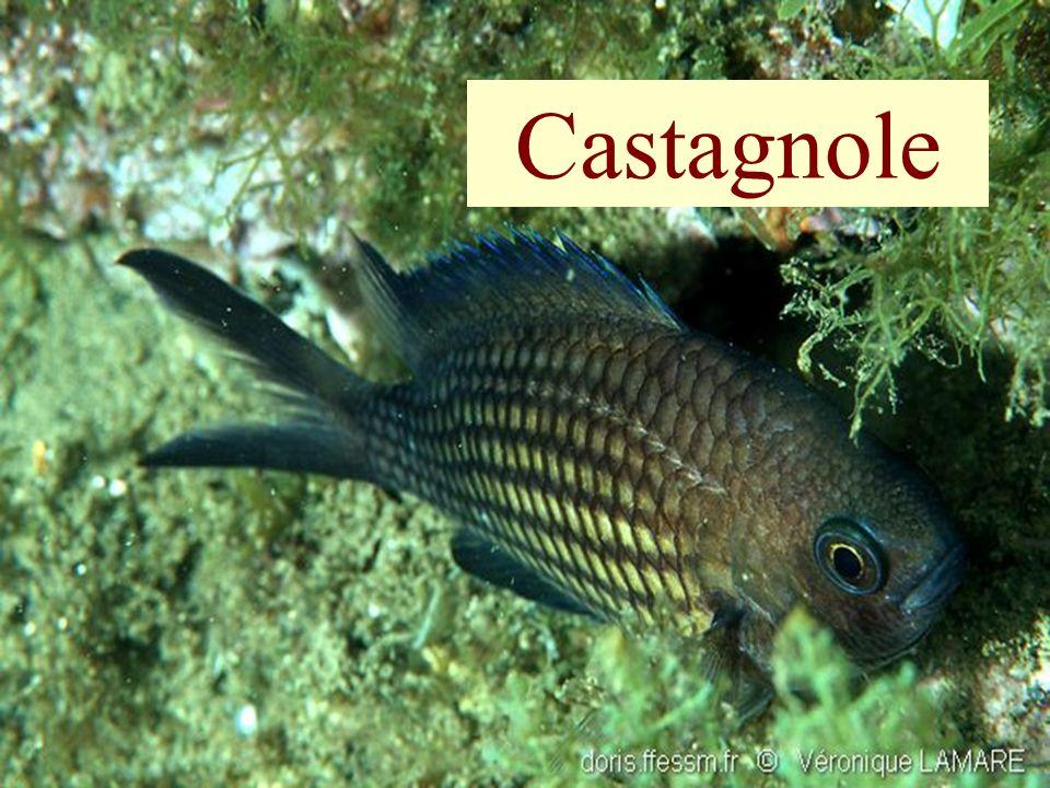 Castagnole Castagnole