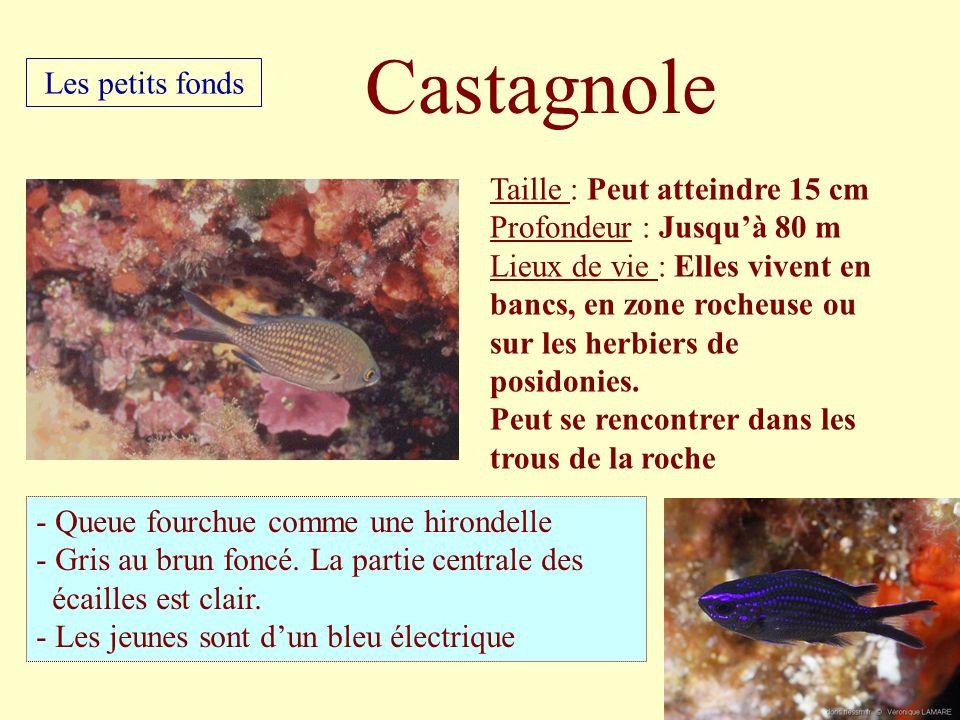 Castagnole Les petits fonds Taille : Peut atteindre 15 cm