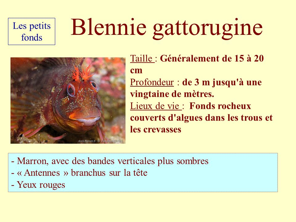 Blennie gattorugine Les petits fonds