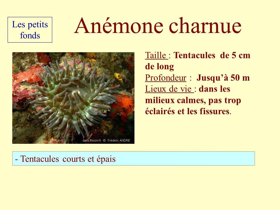 Anémone charnue Les petits fonds Taille : Tentacules de 5 cm de long