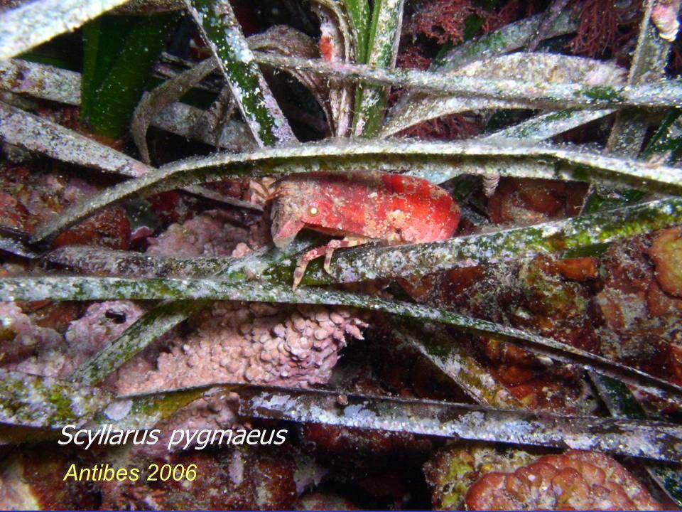 Scyllarus pygmaeus Antibes 2006