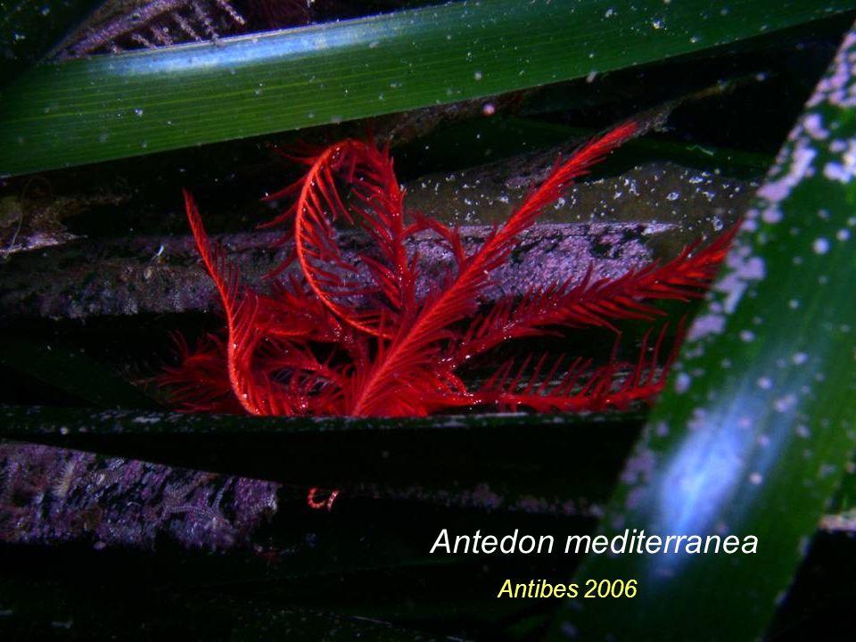 Antedon mediterranea Antibes 2006