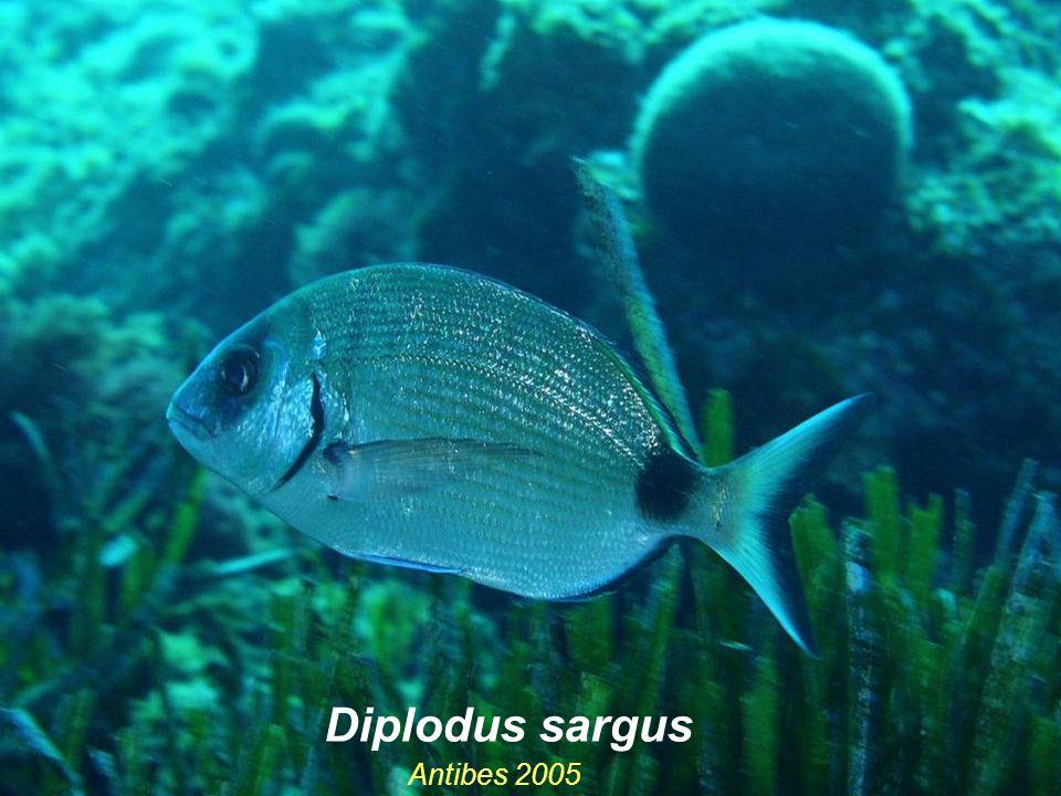 Diplodus sargus Antibes 2005