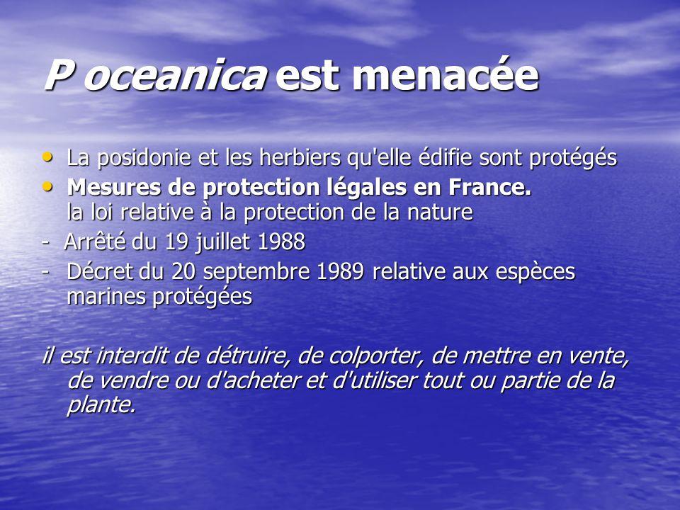 P oceanica est menacée La posidonie et les herbiers qu elle édifie sont protégés.