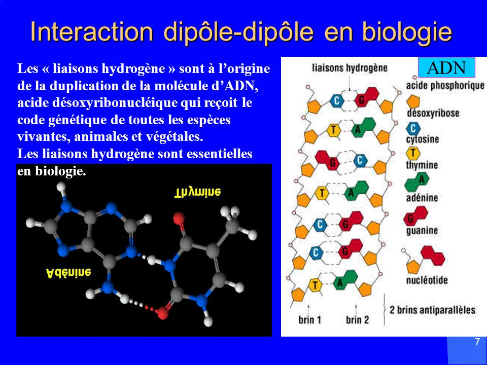 Interaction dipôle-dipôle en biologie