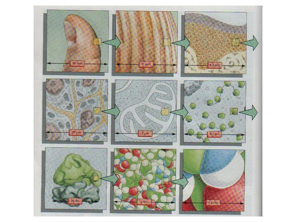 Une idée de l échelle entre les cellules vivantes et les atomes.