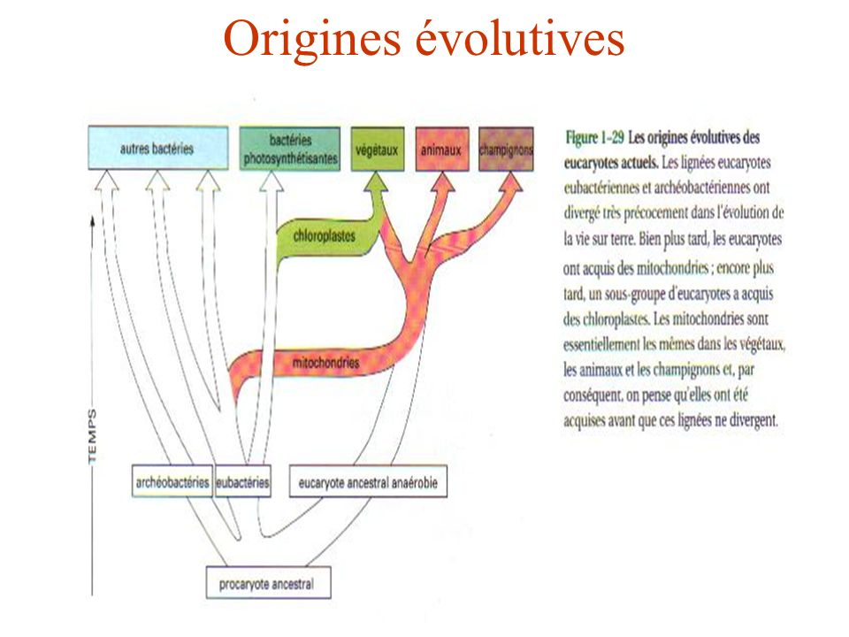 Origines évolutives Procaryote ancestral