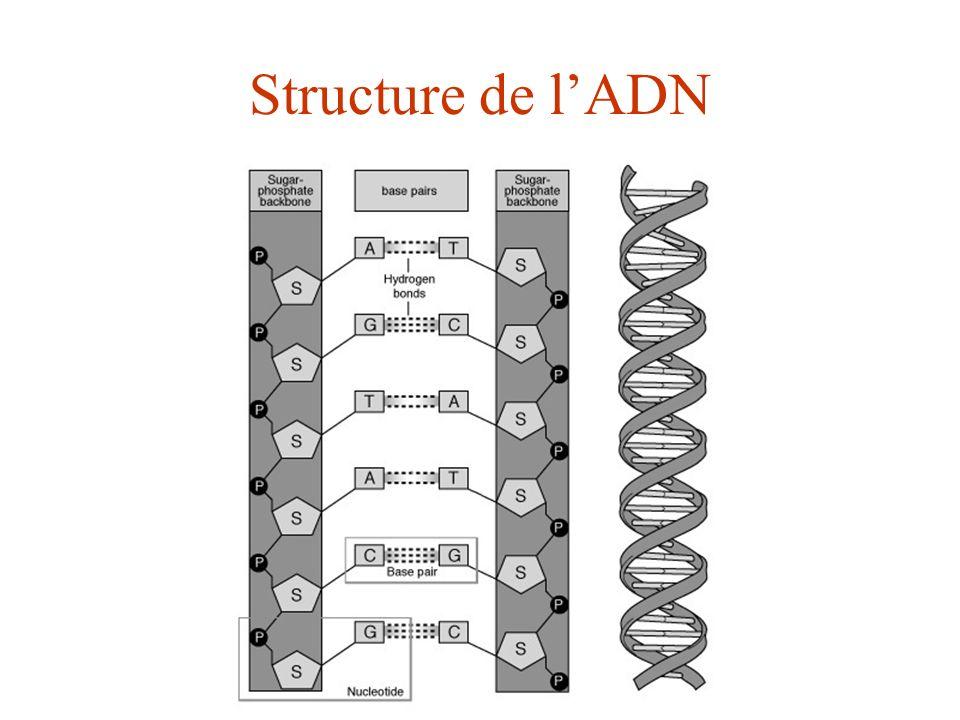 Structure de l'ADN ADN et ses unités de structure: