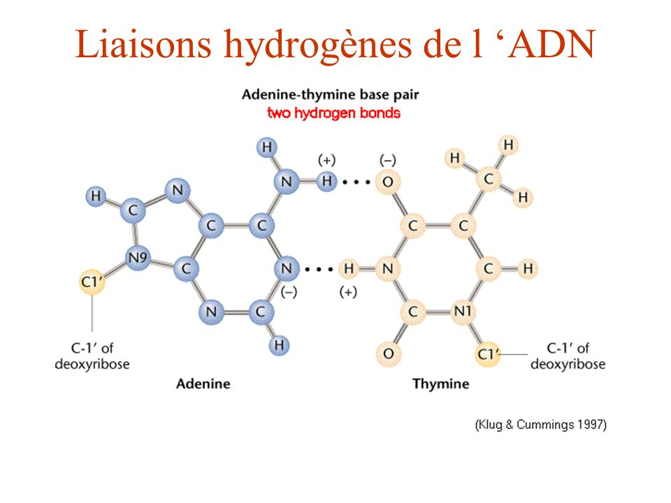 Liaisons hydrogènes de l 'ADN