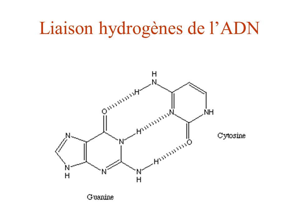 Liaison hydrogènes de l'ADN