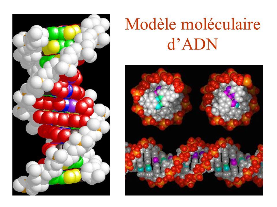 Modèle moléculaire d'ADN
