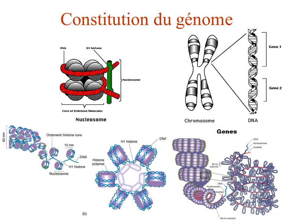 Constitution du génome