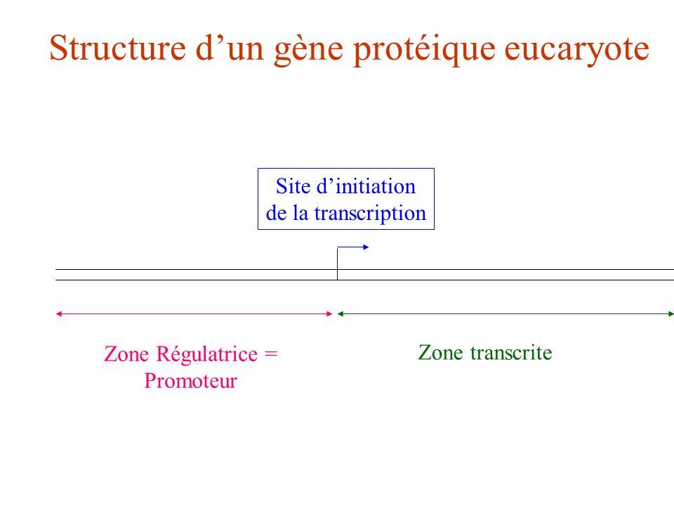 Structure d'un gène protéique eucaryote