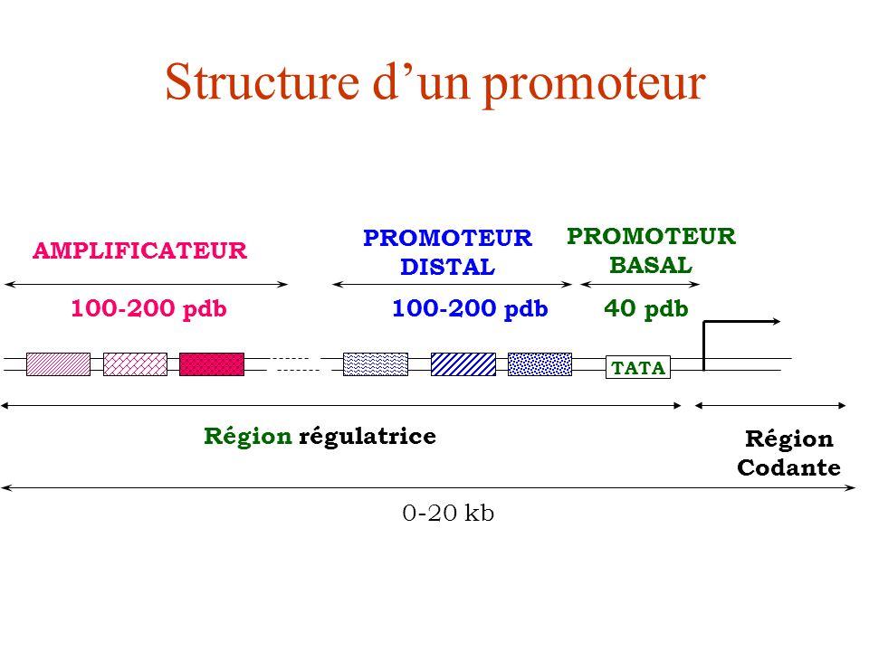Structure d'un promoteur