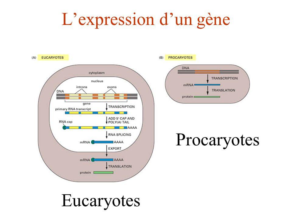 L'expression d'un gène