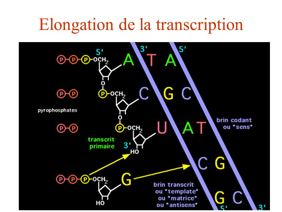 Elongation de la transcription