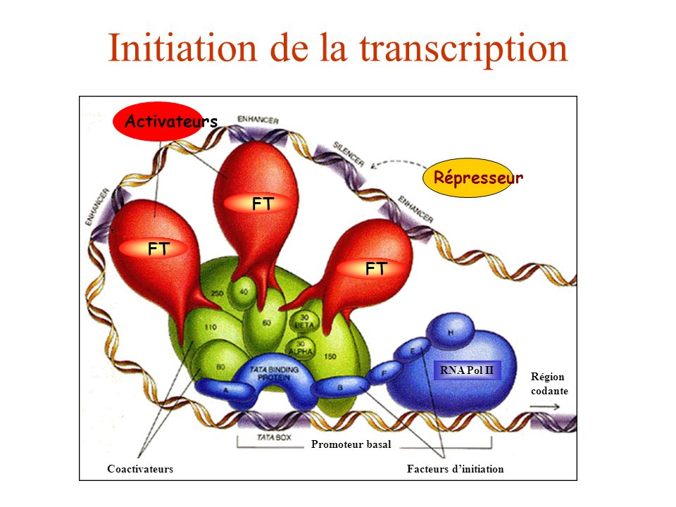 Initiation de la transcription