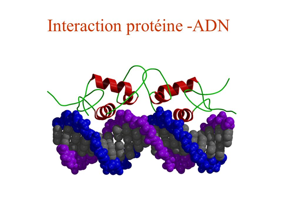 Interaction protéine -ADN