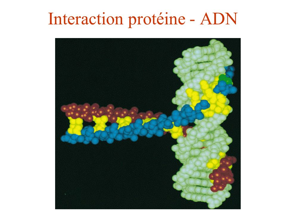 Interaction protéine - ADN