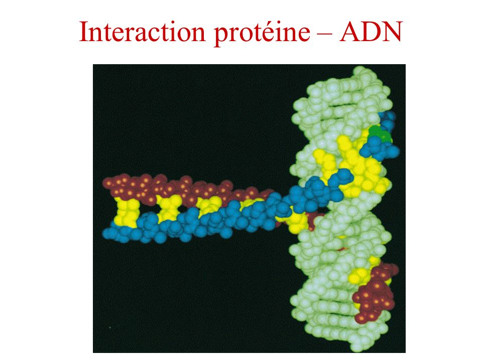 Interaction protéine – ADN