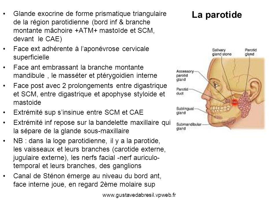 Glande exocrine de forme prismatique triangulaire de la région parotidienne (bord inf & branche montante mâchoire +ATM+ mastoïde et SCM, devant le CAE)