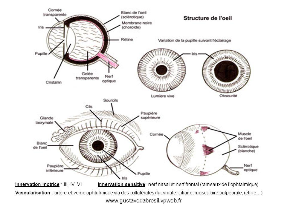 Innervation motrice : III, IV, VI Innervation sensitive: nerf nasal et nerf frontal (rameaux de l'ophtalmique)