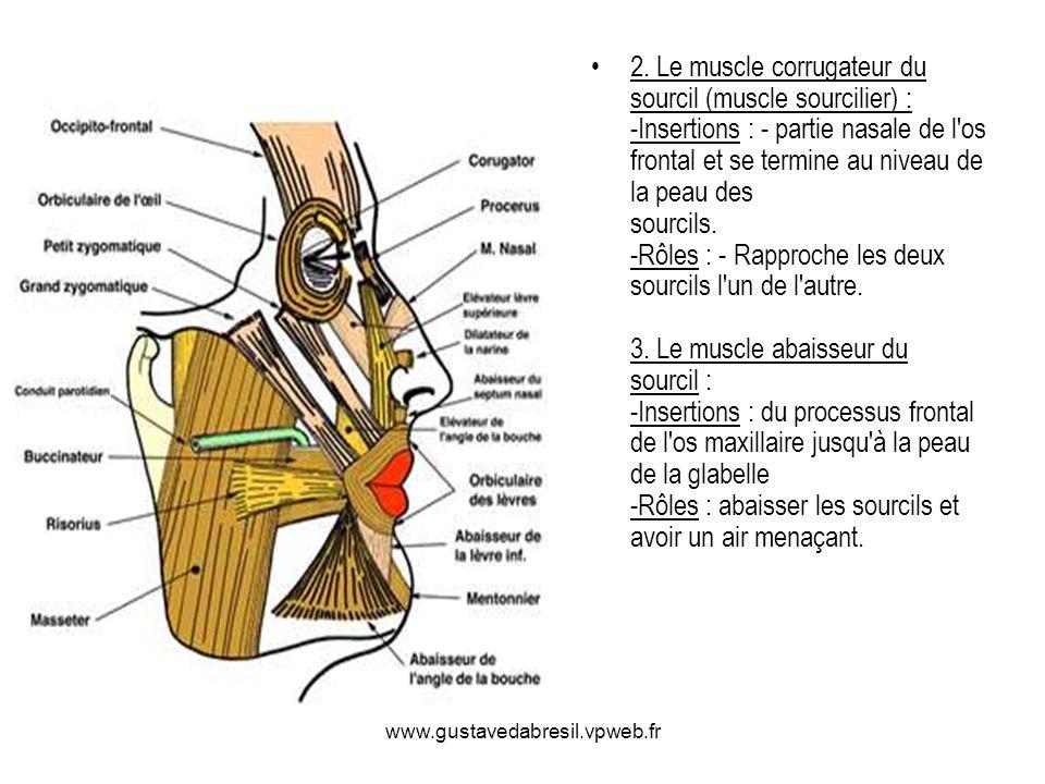 2. Le muscle corrugateur du sourcil (muscle sourcilier) : -Insertions : - partie nasale de l os frontal et se termine au niveau de la peau des sourcils. -Rôles : - Rapproche les deux sourcils l un de l autre. 3. Le muscle abaisseur du sourcil : -Insertions : du processus frontal de l os maxillaire jusqu à la peau de la glabelle -Rôles : abaisser les sourcils et avoir un air menaçant.