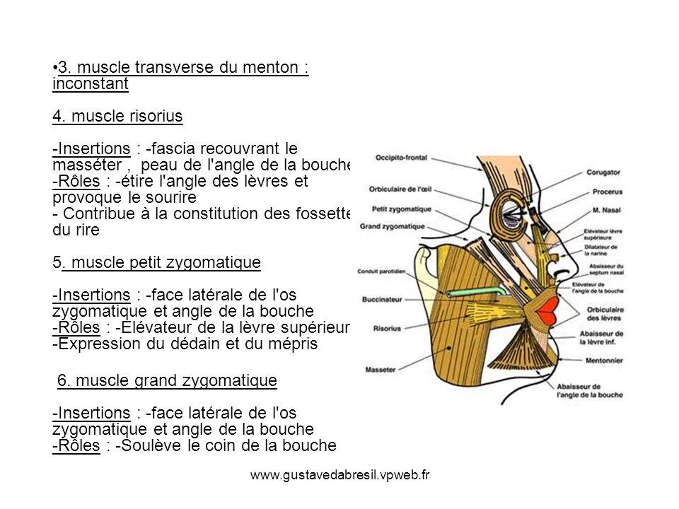 3. muscle transverse du menton : inconstant 4