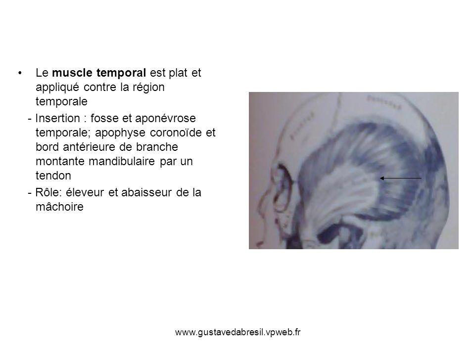 Le muscle temporal est plat et appliqué contre la région temporale