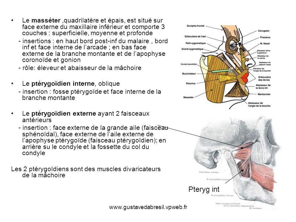 Le masséter ,quadrilatère et épais, est situé sur face externe du maxillaire inférieur et comporte 3 couches : superficielle, moyenne et profonde