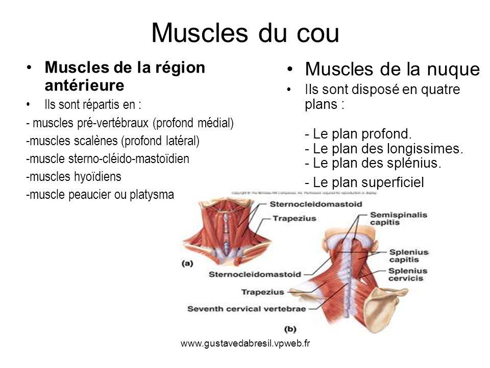 Muscles du cou Muscles de la nuque Muscles de la région antérieure