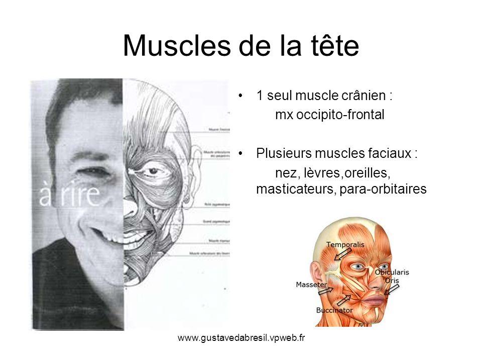 Muscles de la tête 1 seul muscle crânien : mx occipito-frontal
