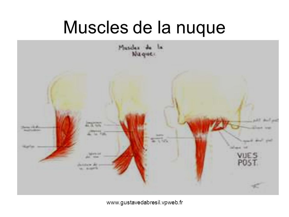Muscles de la nuque www.gustavedabresil.vpweb.fr