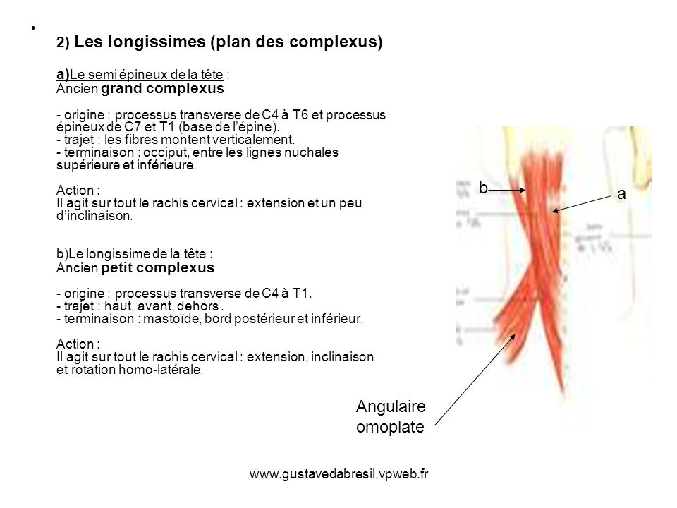 2) Les longissimes (plan des complexus) a)Le semi épineux de la tête : Ancien grand complexus - origine : processus transverse de C4 à T6 et processus épineux de C7 et T1 (base de l'épine). - trajet : les fibres montent verticalement. - terminaison : occiput, entre les lignes nuchales supérieure et inférieure. Action : Il agit sur tout le rachis cervical : extension et un peu d'inclinaison. b)Le longissime de la tête : Ancien petit complexus - origine : processus transverse de C4 à T1. - trajet : haut, avant, dehors . - terminaison : mastoïde, bord postérieur et inférieur. Action : Il agit sur tout le rachis cervical : extension, inclinaison et rotation homo-latérale.