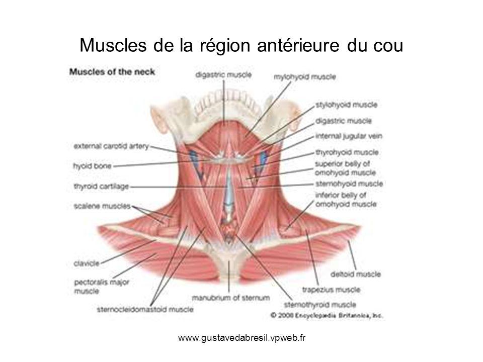 Muscles de la région antérieure du cou