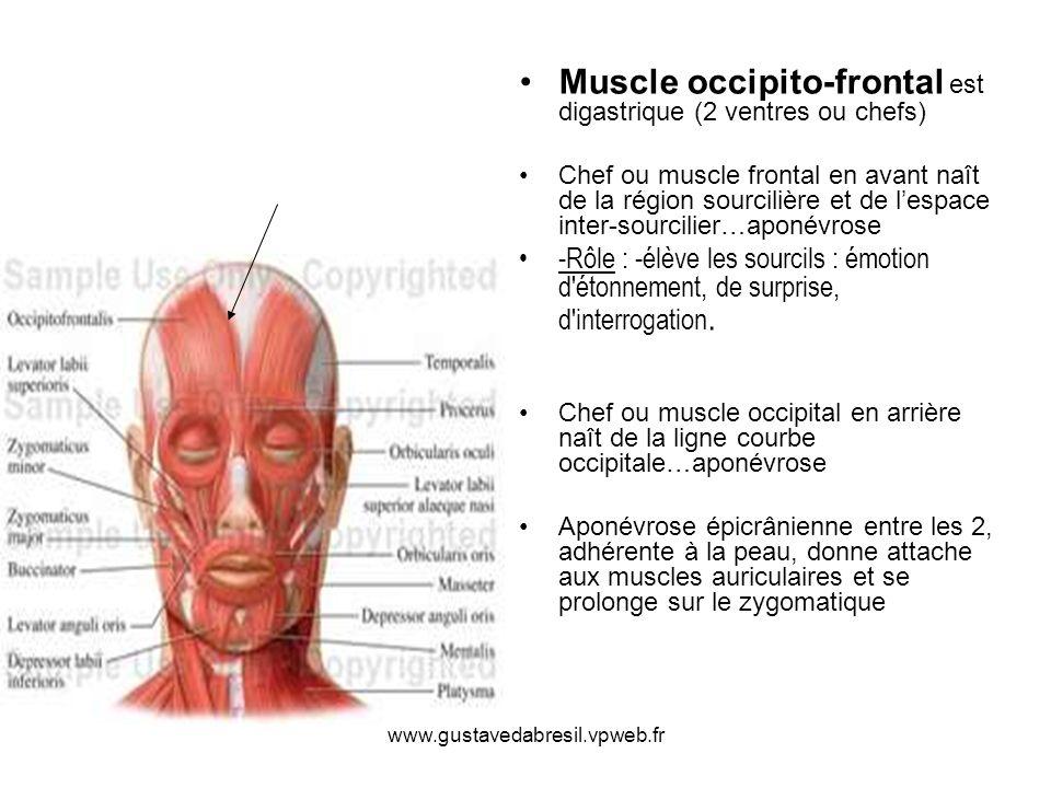 Muscle occipito-frontal est digastrique (2 ventres ou chefs)