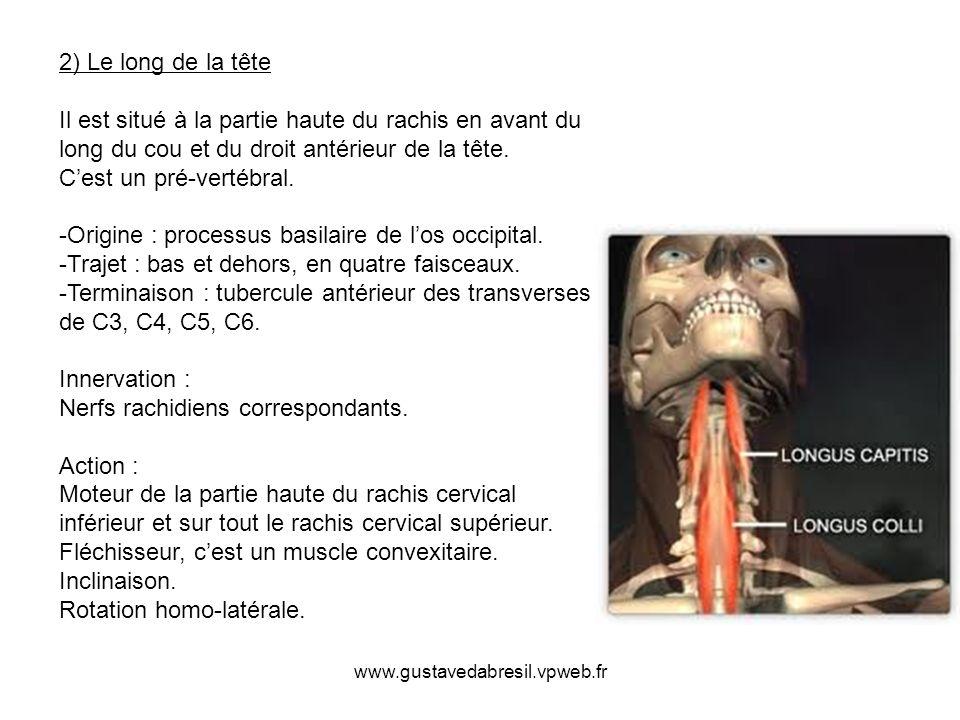2) Le long de la tête Il est situé à la partie haute du rachis en avant du long du cou et du droit antérieur de la tête. C'est un pré-vertébral. -Origine : processus basilaire de l'os occipital. -Trajet : bas et dehors, en quatre faisceaux. -Terminaison : tubercule antérieur des transverses de C3, C4, C5, C6. Innervation : Nerfs rachidiens correspondants. Action : Moteur de la partie haute du rachis cervical inférieur et sur tout le rachis cervical supérieur. Fléchisseur, c'est un muscle convexitaire. Inclinaison. Rotation homo-latérale.