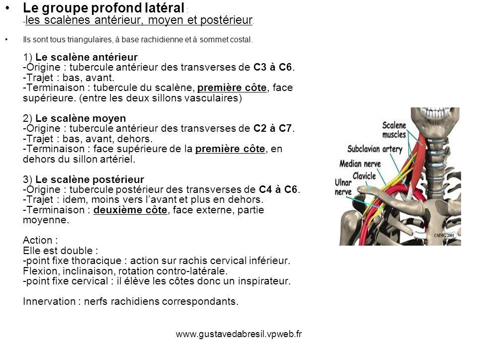 Le groupe profond latéral : -les scalènes antérieur, moyen et postérieur.