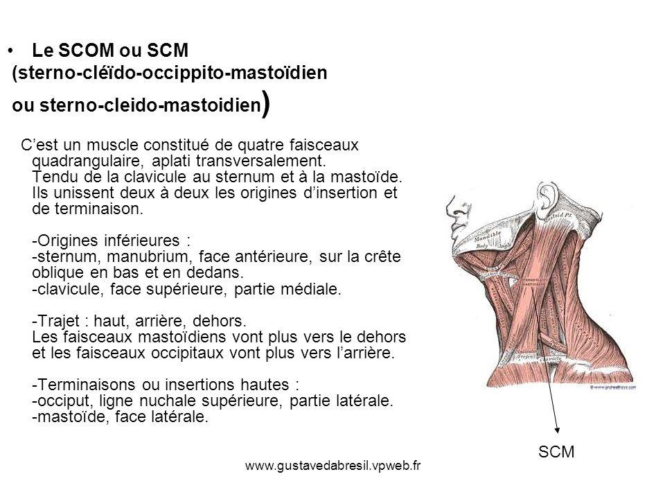 (sterno-cléïdo-occippito-mastoïdien ou sterno-cleido-mastoidien)