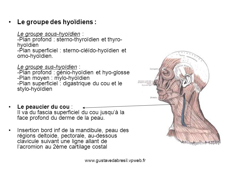 Le groupe des hyoïdiens : Le groupe sous-hyoïdien : -Plan profond : sterno-thyroïdien et thyro-hyoïdien -Plan superficiel : sterno-cléïdo-hyoïdien et omo-hyoïdien. Le groupe sus-hyoïdien : -Plan profond : génio-hyoïdien et hyo-glosse -Plan moyen : mylo-hyoïdien -Plan superficiel : digastrique du cou et le stylo-hyoïdien