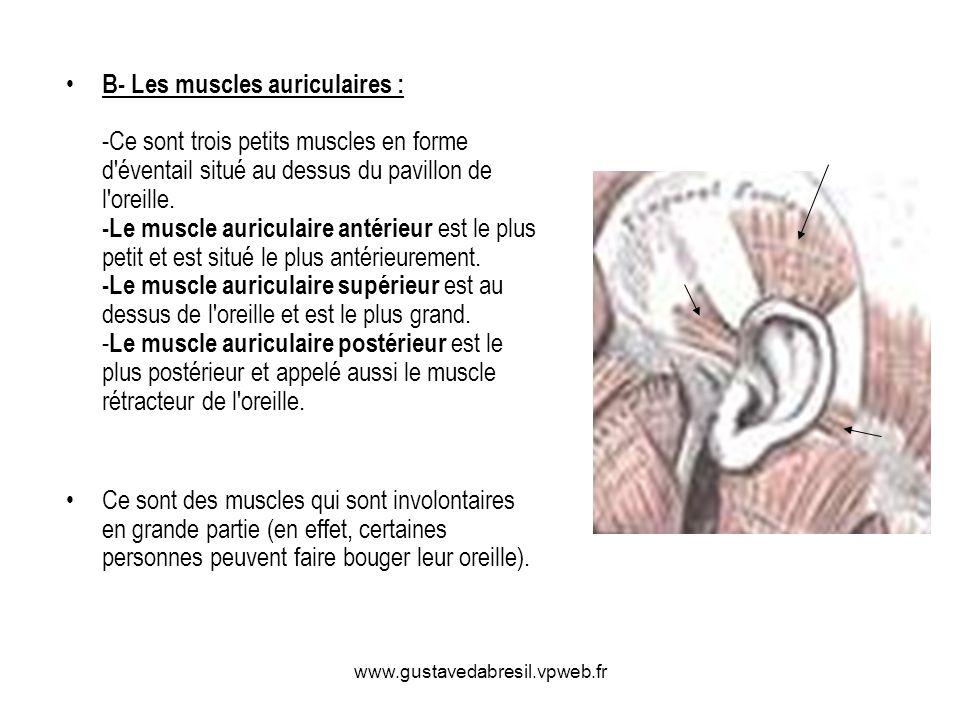 B- Les muscles auriculaires : -Ce sont trois petits muscles en forme d éventail situé au dessus du pavillon de l oreille. -Le muscle auriculaire antérieur est le plus petit et est situé le plus antérieurement. -Le muscle auriculaire supérieur est au dessus de l oreille et est le plus grand. -Le muscle auriculaire postérieur est le plus postérieur et appelé aussi le muscle rétracteur de l oreille.