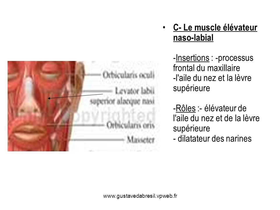 C- Le muscle élévateur naso-labial -Insertions : -processus frontal du maxillaire -l aile du nez et la lèvre supérieure -Rôles :- élévateur de l aile du nez et de la lèvre supérieure - dilatateur des narines