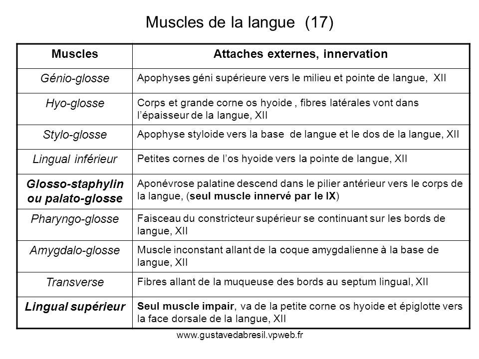 Glosso-staphylin ou palato-glosse