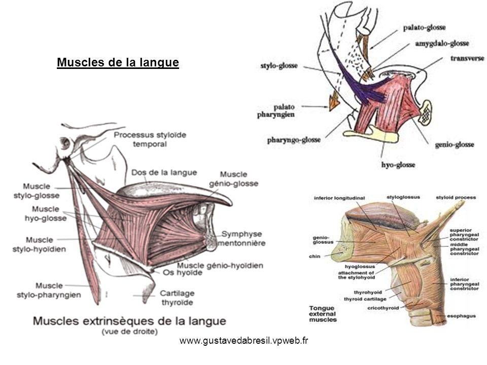 Muscles de la langue www.gustavedabresil.vpweb.fr