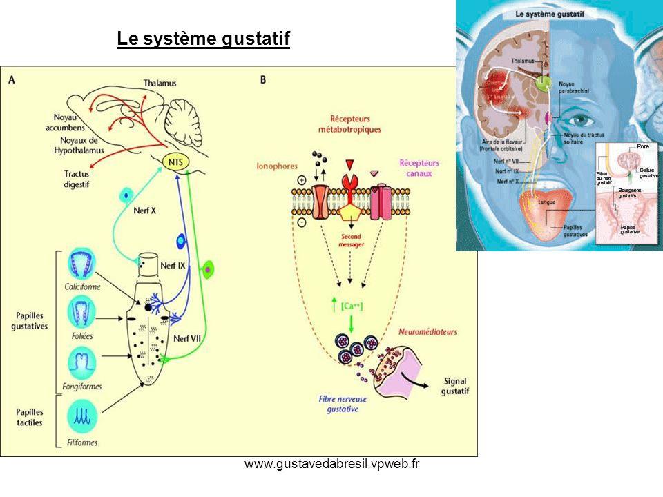 Le système gustatif www.gustavedabresil.vpweb.fr