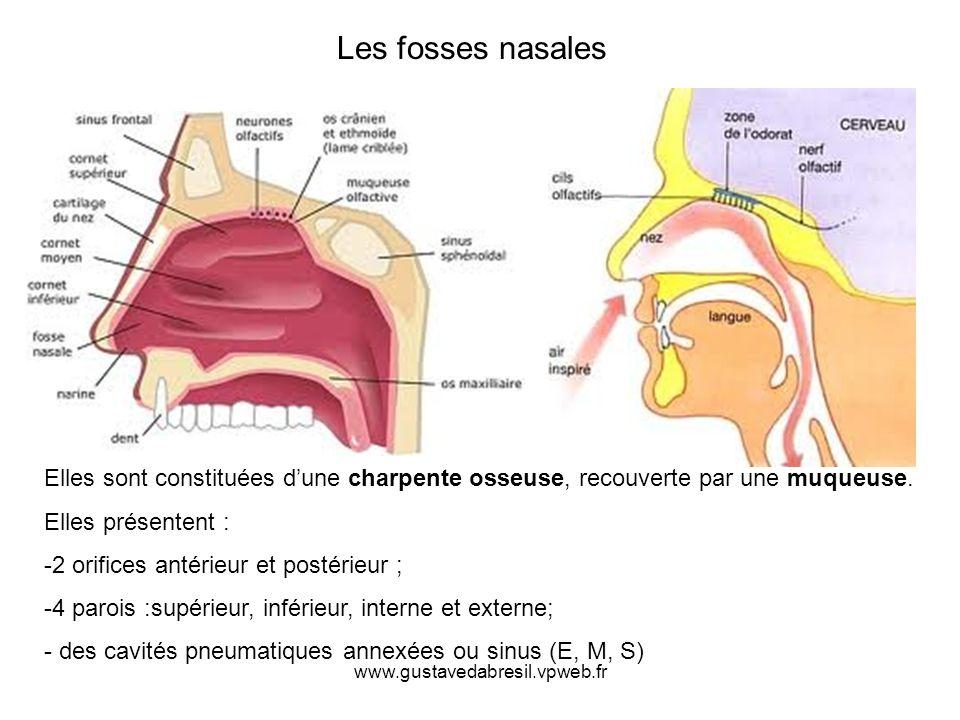 Les fosses nasales Elles sont constituées d'une charpente osseuse, recouverte par une muqueuse. Elles présentent :