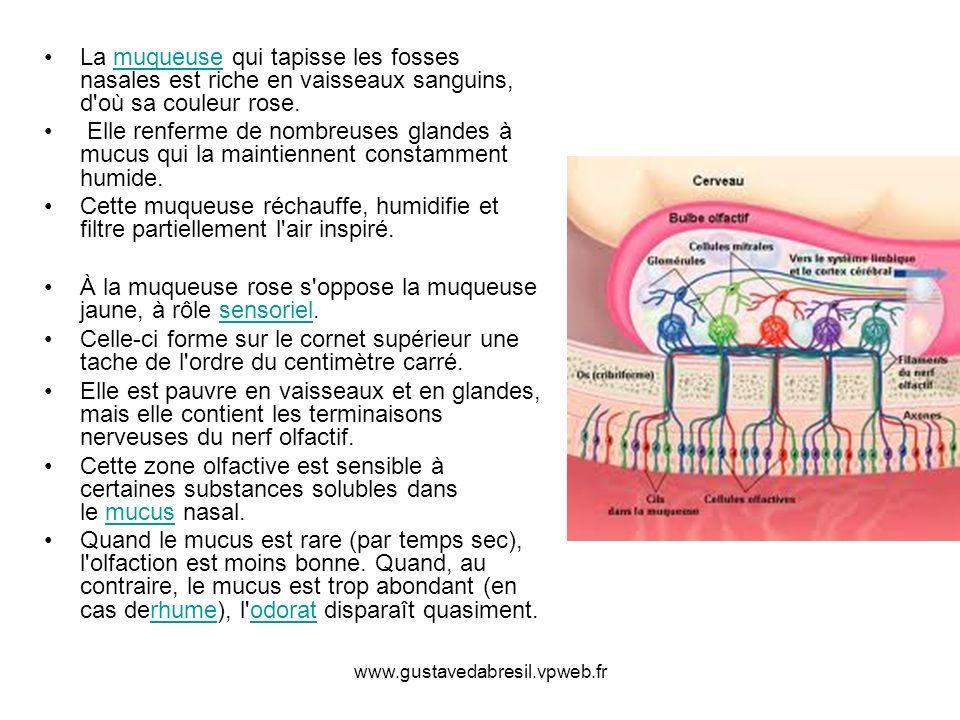 À la muqueuse rose s oppose la muqueuse jaune, à rôle sensoriel.