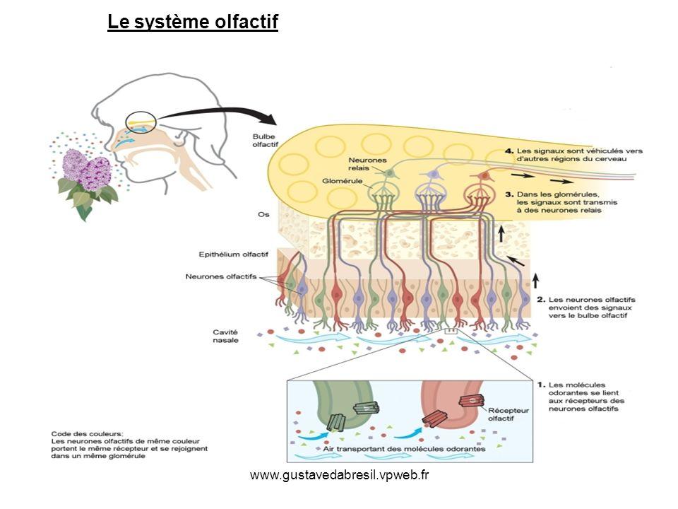 Le système olfactif www.gustavedabresil.vpweb.fr